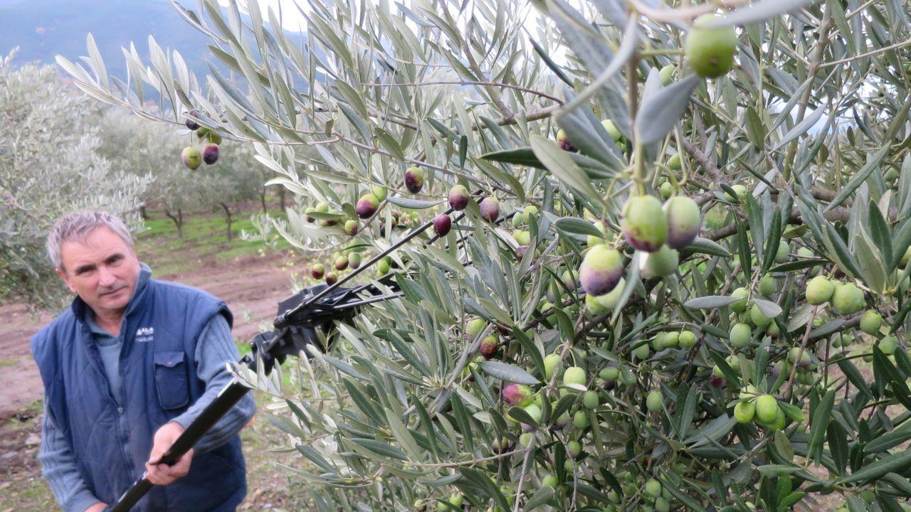 Recogida de la aceituna en un olivar de la parroquia de Bendollo, en el municipio de Quiroga
