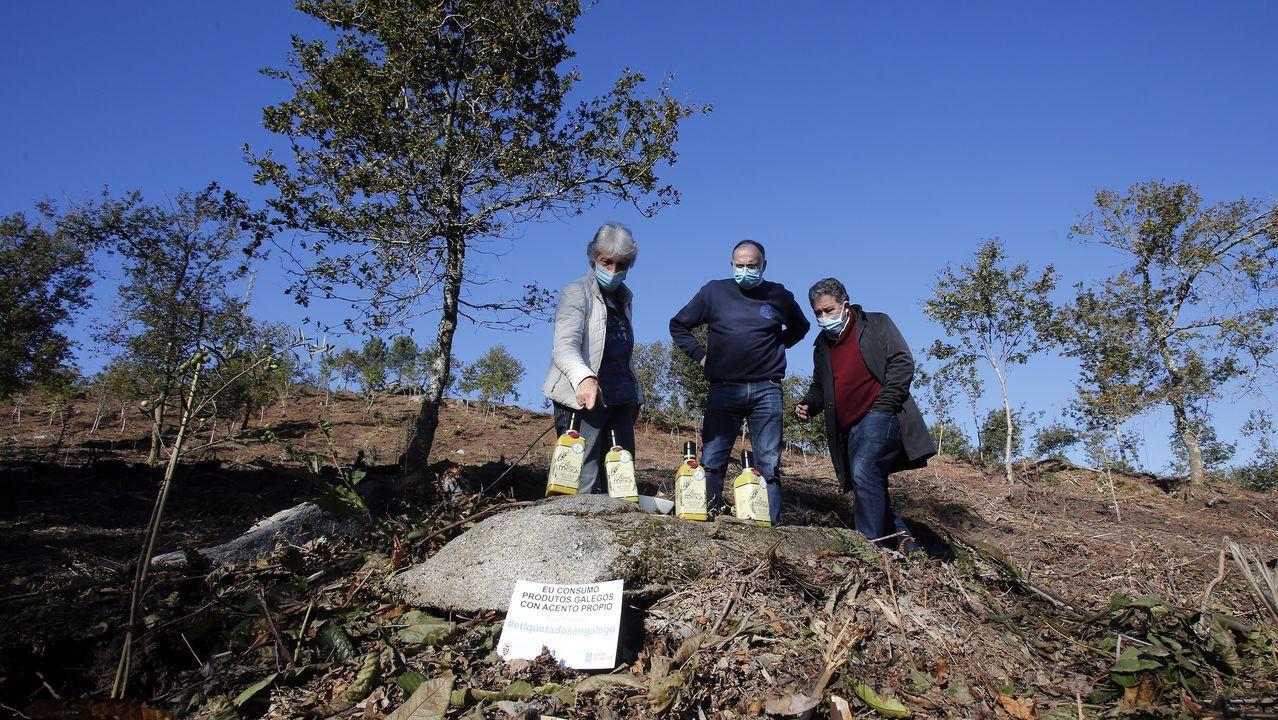 Arranca la plantación de 3.000 olivos en el monte de  A Tomba, en Campañó, para producción de aceite