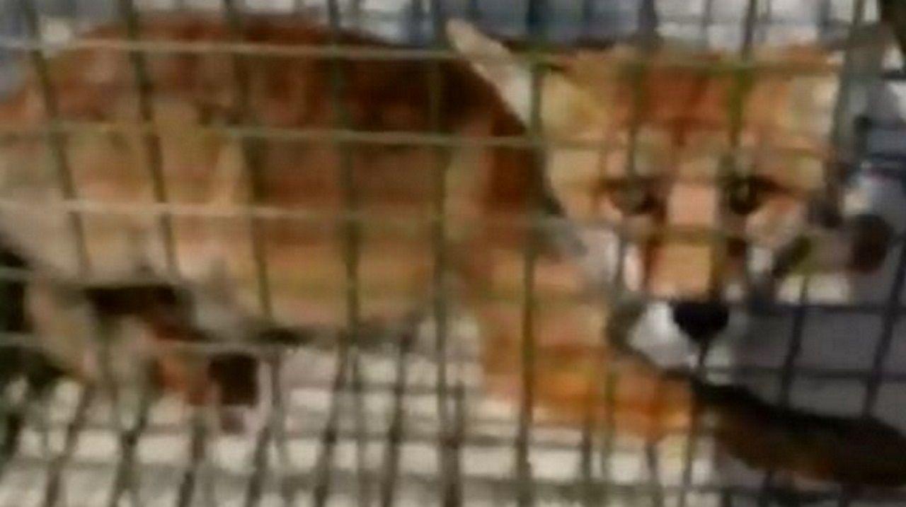 El zorro de la playa de Altar, capturado en una jaula.Socorristas realizando pruebas en la playa de A Barbeira, en Baiona