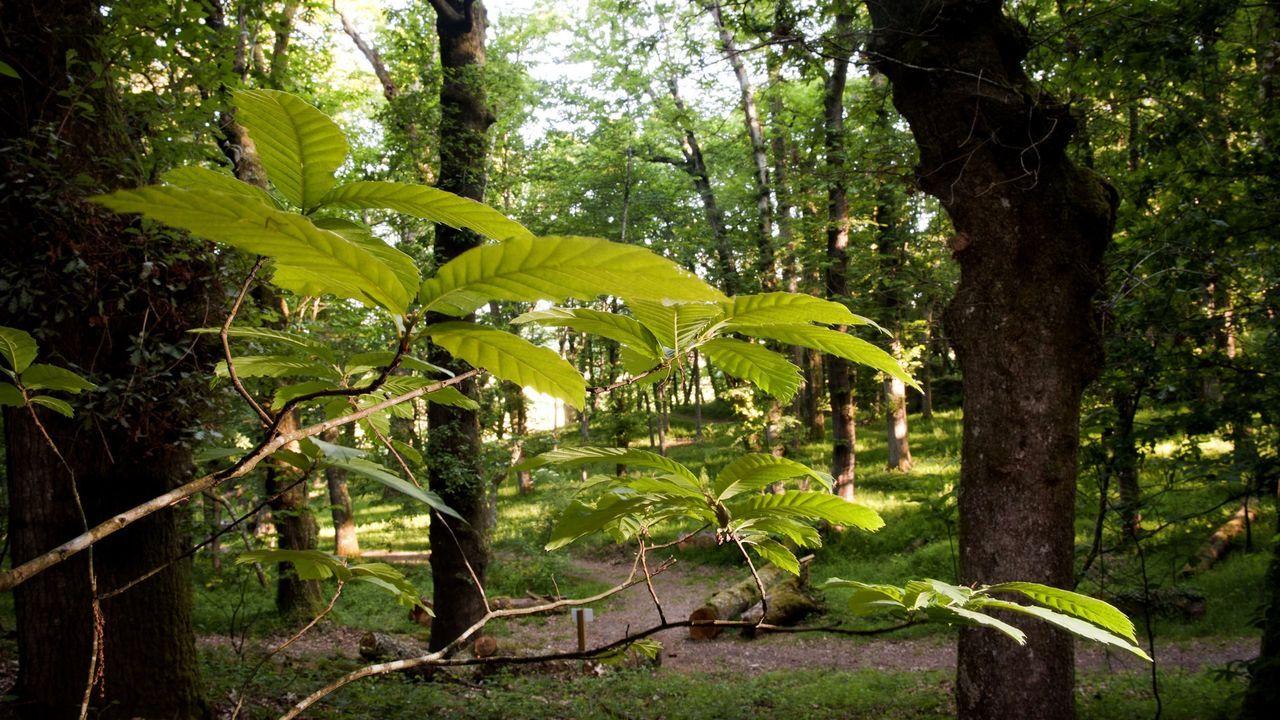 bano.FRAGA DE CATASÓS. En este bosque de Lalín podemos pasear entre los castaños centenarios que inspiraron a Emilia Pardo Bazán para escribir 'Los Pazos de Ulloa'. Es la Fraga de Catasós, declarada Monumento Natural