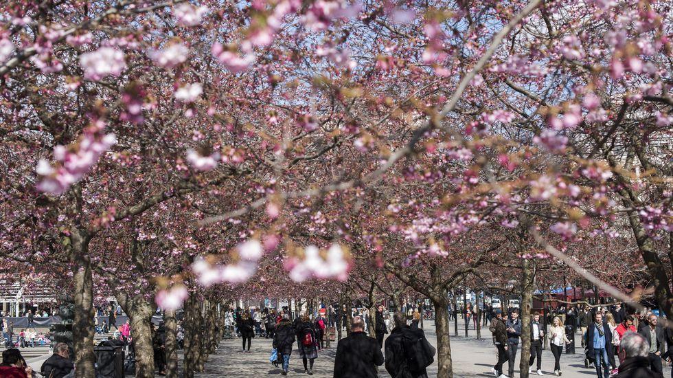 Vista general de los cerezos en flor en el parque Kungstradgarden de Estocolmo (Suecia).
