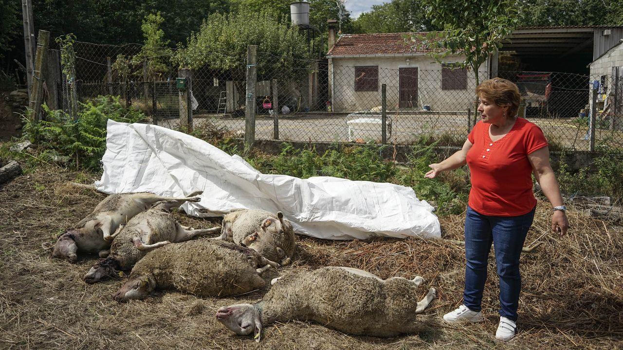 El lobo ataca de nuevo en Ourense y los ganaderos no pueden defenderse