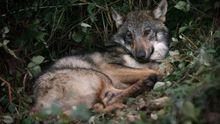 Lobo herido tras ser atropellado en Dozón
