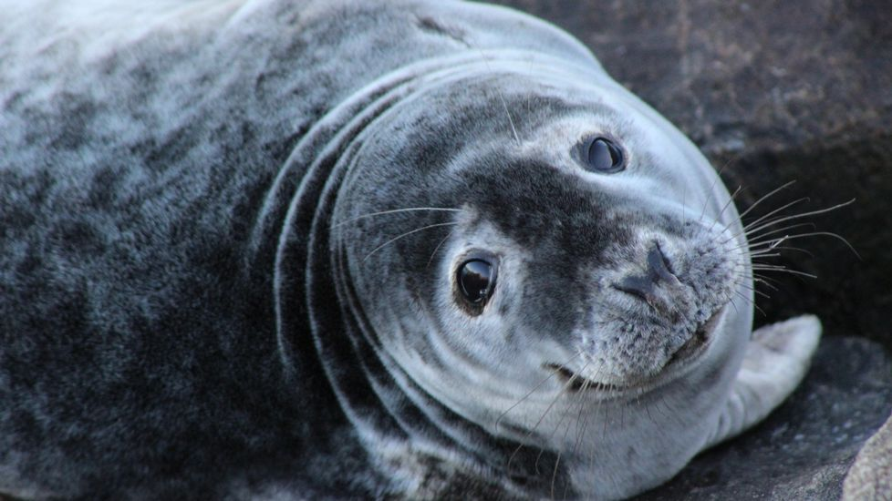 Autoridades, ayer, en Celeiro, con el lobo marino recuperado por Cemma y que será liberado.