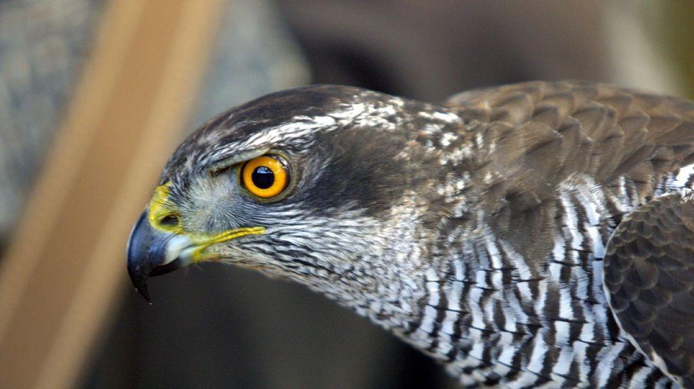 Azor común (Accipiter gentilis)