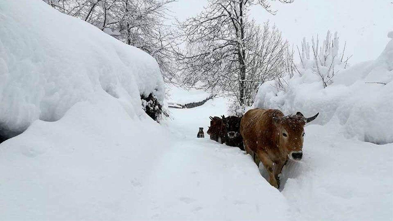 Vacas en Pelúgano, Aller