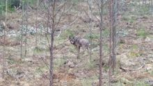 Un lobo fotografiado el mes pasado en Xove, cerca de viviendas