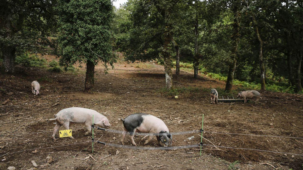 José Carrera está farto de ver como a fauna salvaxe estraga a súa colleita