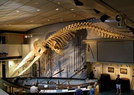 Esqueleto de un cachalote colgado en el museo ballenero de Nantucket (Massachusetts).