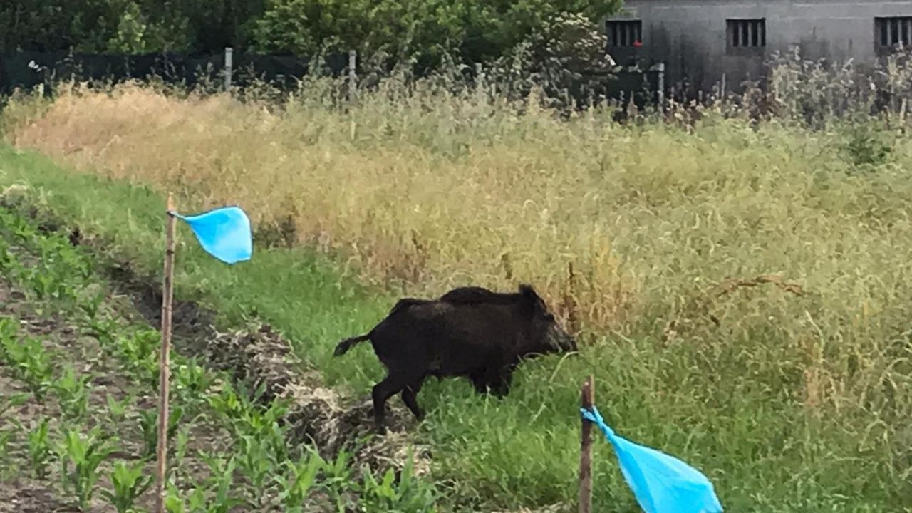 Un jabalí se paseaalegremente por fincas de Boiro