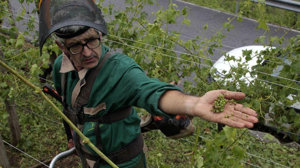 Un viticultor muestra uno de los racimos esparcidos por el suelo a causa del granizo
