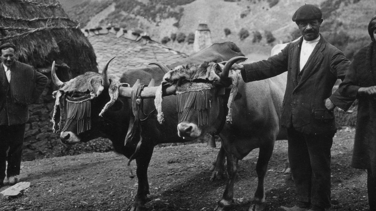 Pareja de vacas xuncida en Brañas de Arriba (Cangas del Narcea), 1927