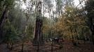 Souto da Retorta, en Viveiro, con un eucalipto de 67 metros