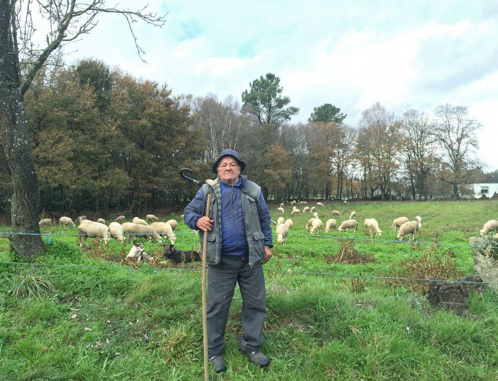 Balbino, en una de sus fincas de Friol pastoreando con su rebaño de ovejas y alguna cabra.