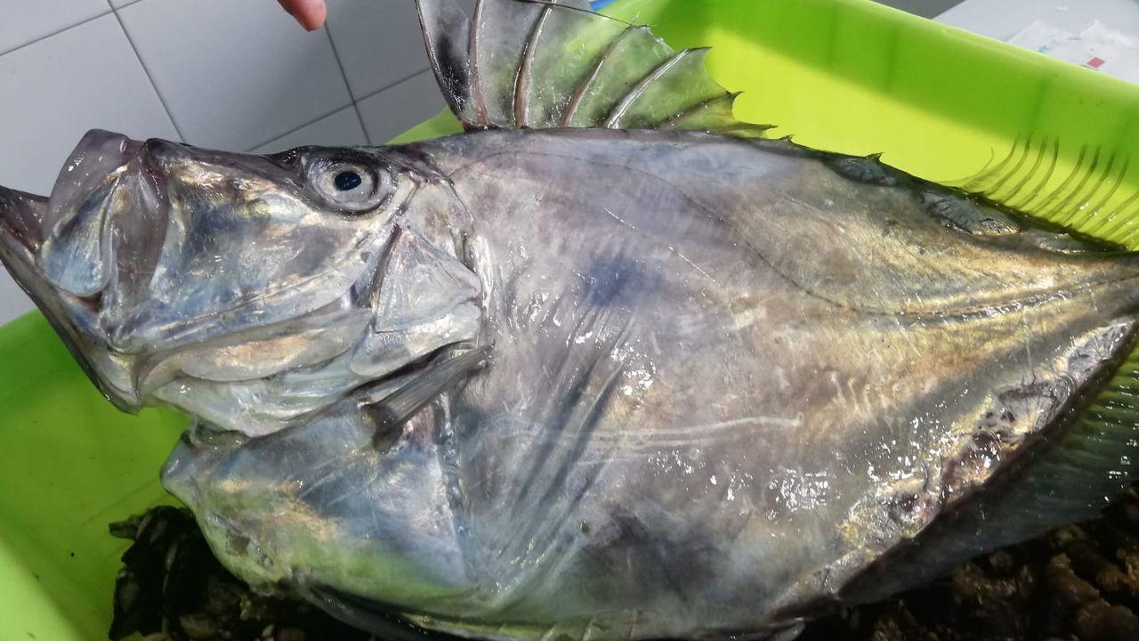 Peixes Grallal, de Viveiro, compró el pez en lonja y lo donó para investigación