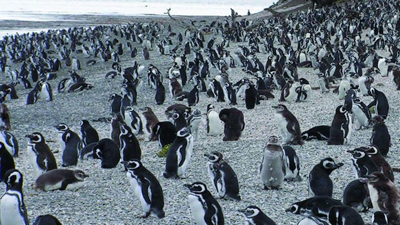 Los investigadores de la Universidad de Santiago analizaron más de 3.000 colonias de aves, entre ellas las de los pingüinos de Ushuaia