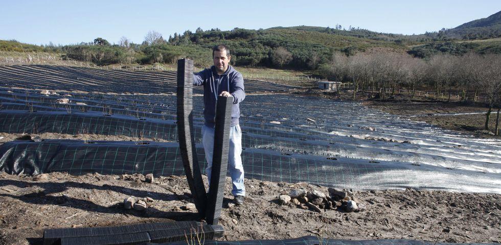 El agricultor Manuel Currás cuida el crecimiento de las primeras plantas de arándanos de su finca de 1,5 hectáreas de Cotobade.