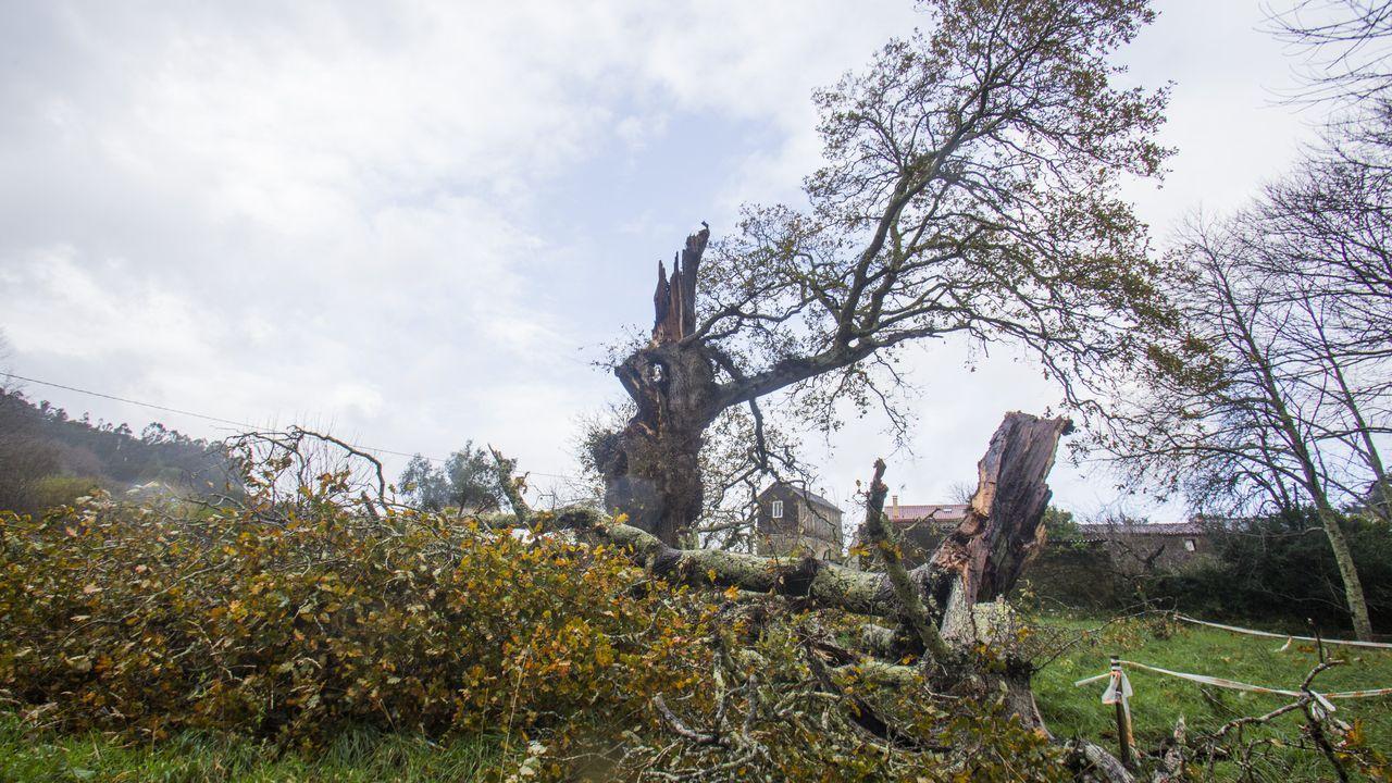 Fabien se ceba con el carballo centenario de Vilar de Francos