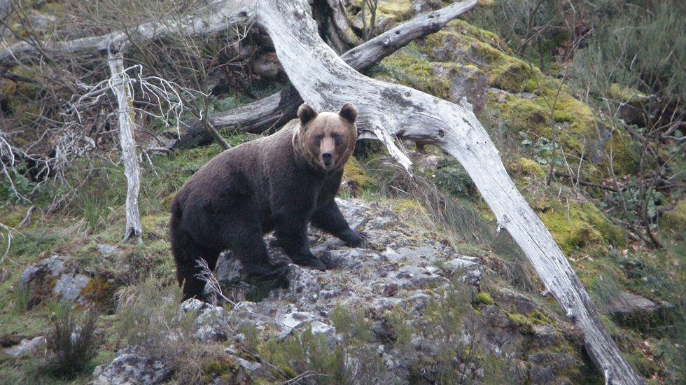 Un oso pardo en Asturias