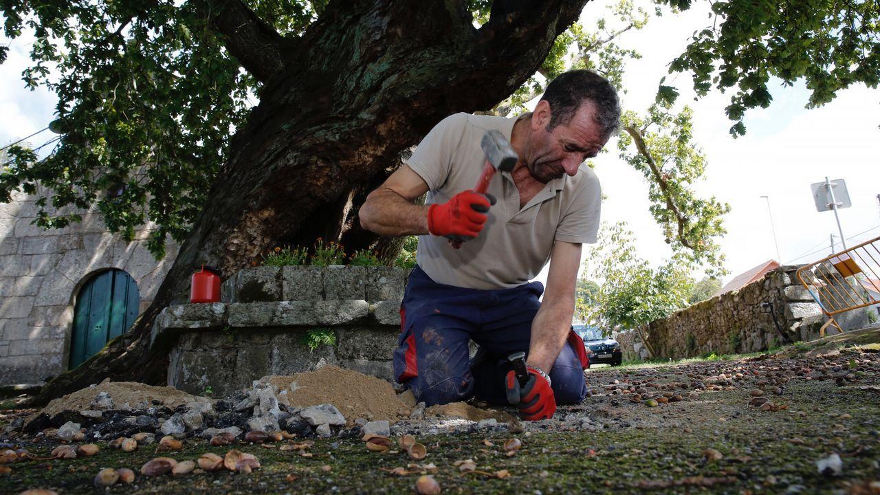Trabajos de aireación en el asfalto que rodea el carballo de Santa Margarita de Mourente