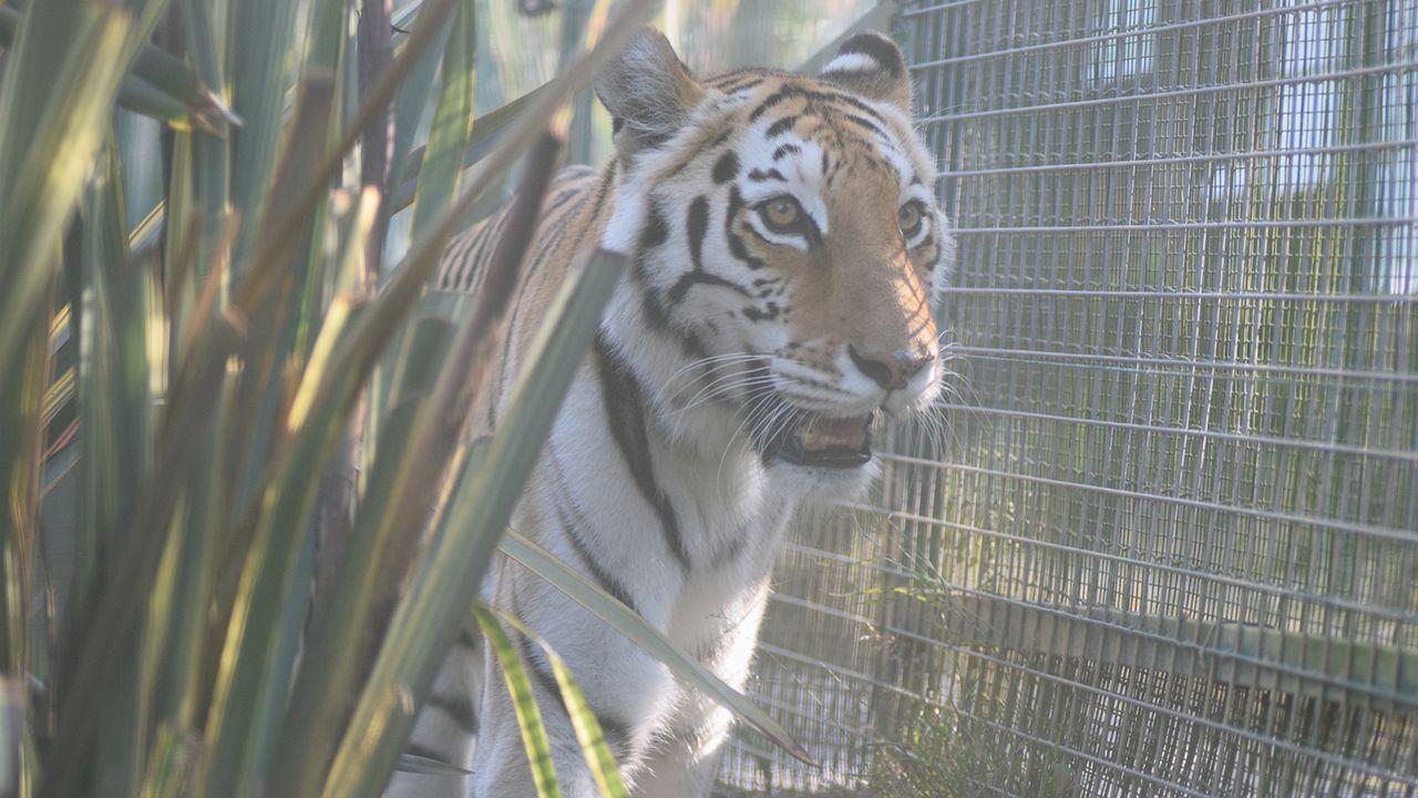 Asia, la tigresa del zoo El Bosque de Oviedo