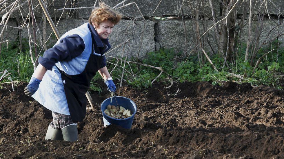 La plaga de la patata se extiende por Galicia tras fracasar las medidas para frenarla.Patata afectada por la polilla guatemalteca