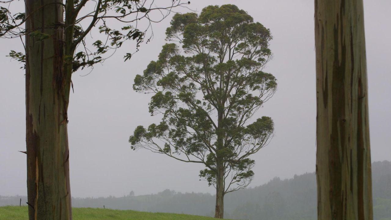 Más eucaliptos,  más   coníferas. Consecuencias de la sed de beneficio$ en la húmeda Galicia. El sector forestal. - Página 6 D21Y2016