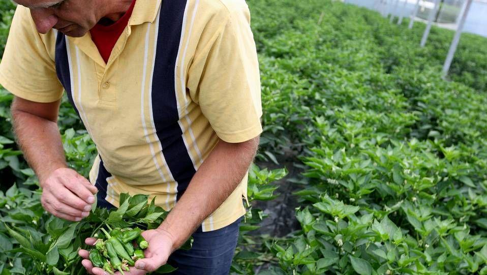 Así son los jóvenes gallegos.as plantaciones del Pemento do Couto se realizan en el mes de enero en los terrenos de los agricultores de la zona mientras que la comercialización del producto se inicia, salvo improvistos meteorológicos, en primavera.