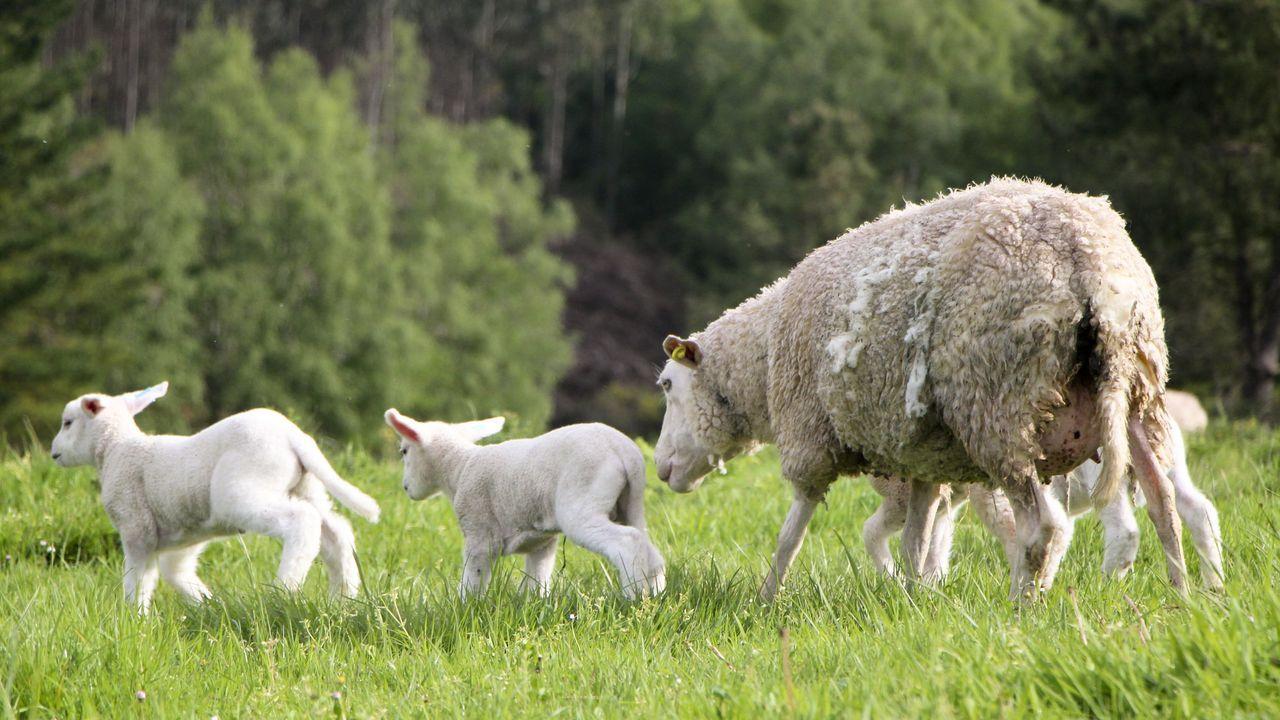 Una madre con sus pequeños pasta en libertad por una de las fincas de este ganadero en el concello de Pol