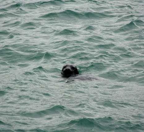 Lucha para devolver un delfín al mar.Imagen de la foca en Suevos captada por un aficionado.