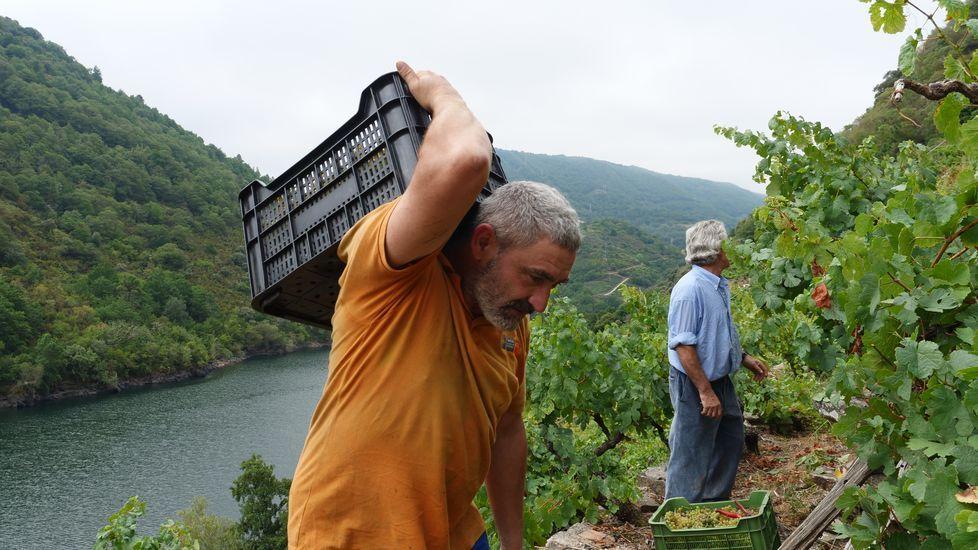 La primera vendimia de este año fue el 27 de agosto en una viña de Amandi