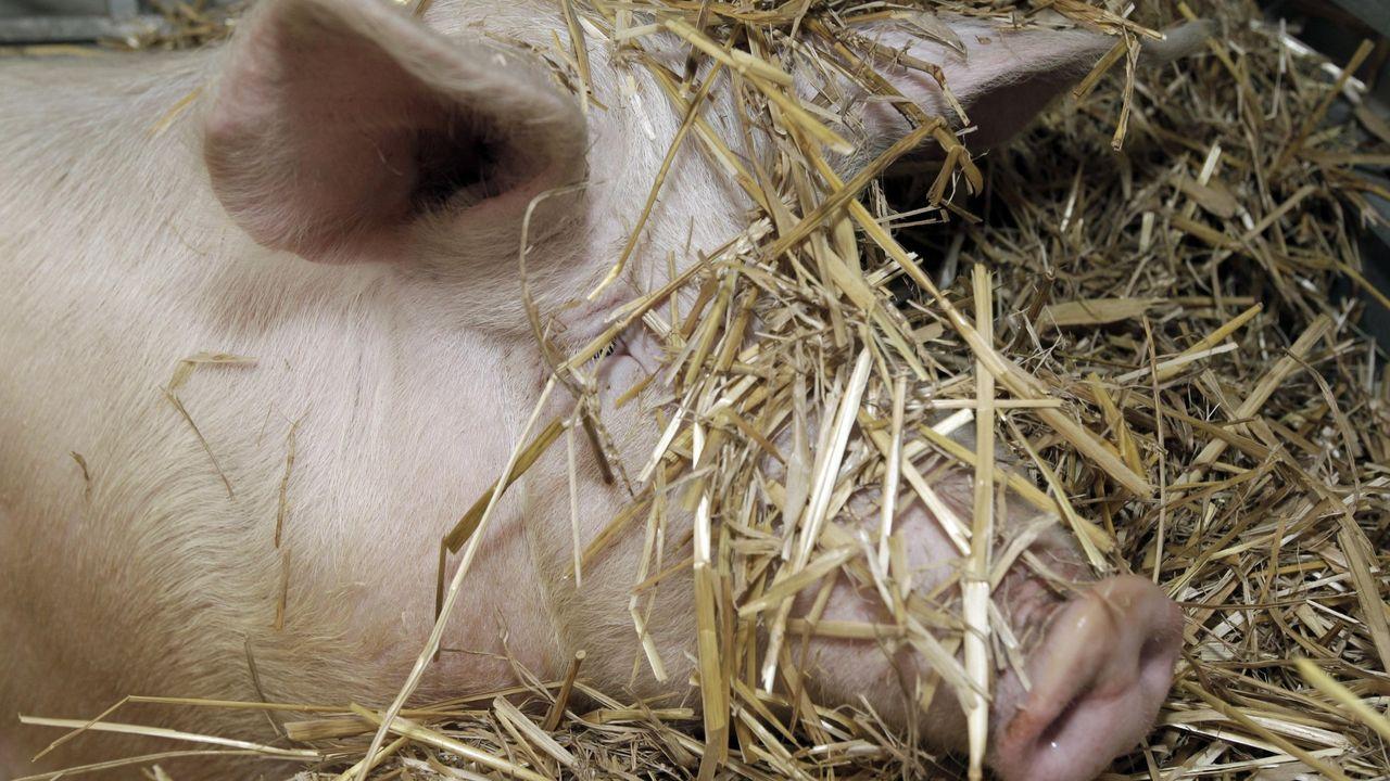 La carne de cerdo es una de las más consumidas en España