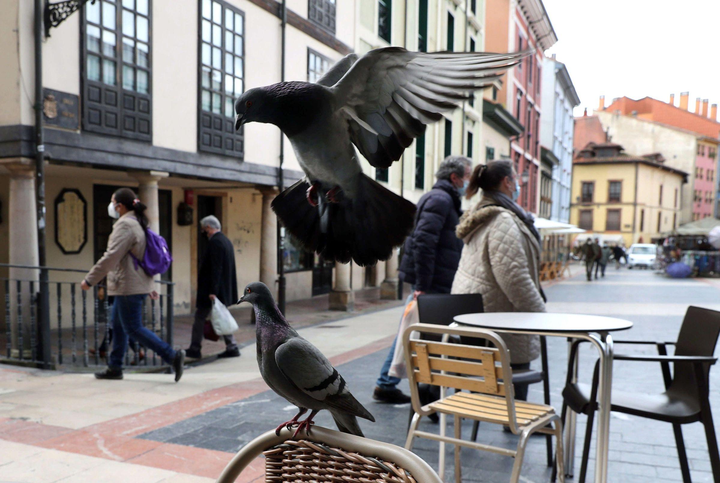 Palomas revolotean en una terraza del centro de Oviedo