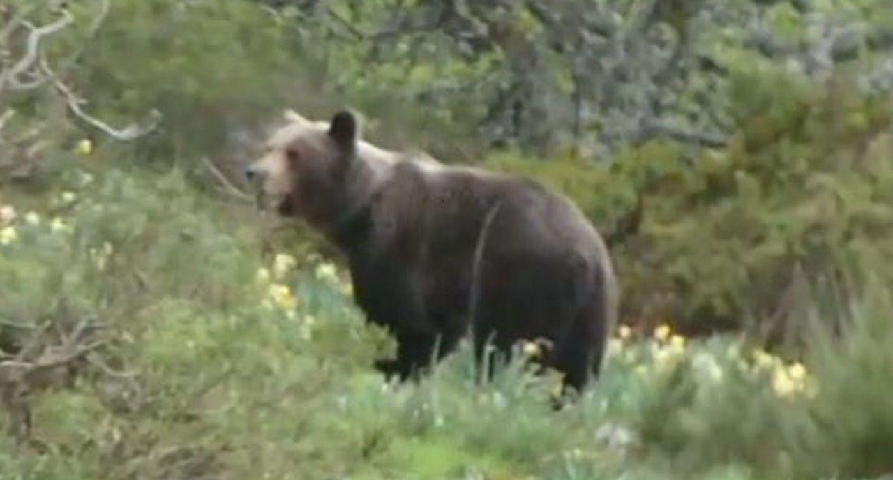 Un oso en Os Ancares, controlado y grabado por los agentes.