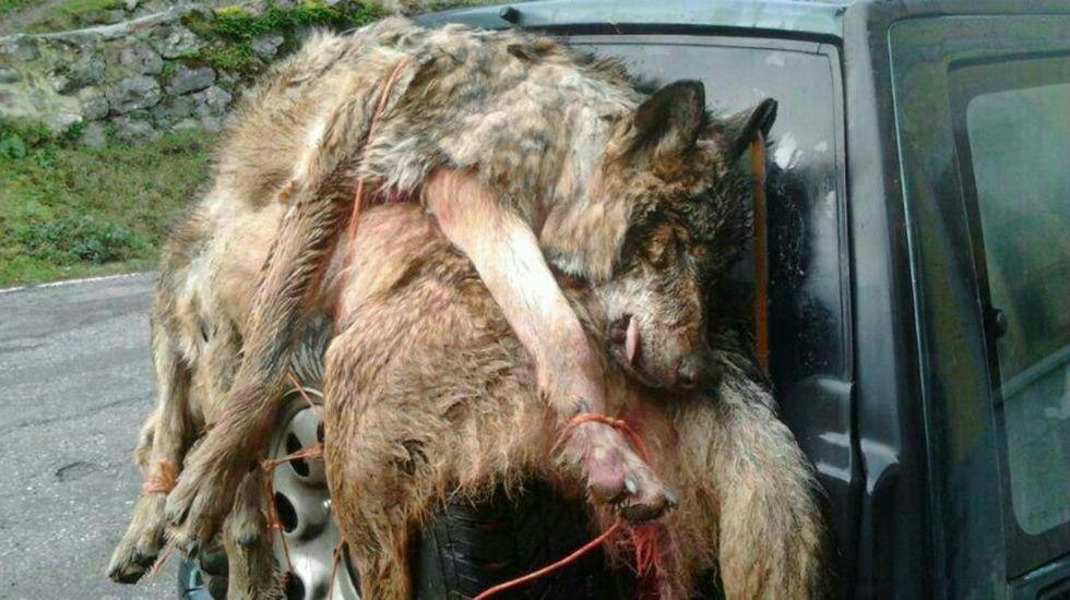 Lobos muertos