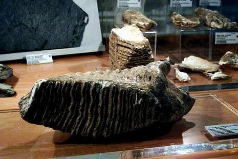 Molar del mamut de Buxán en el museo Luis Iglesias.