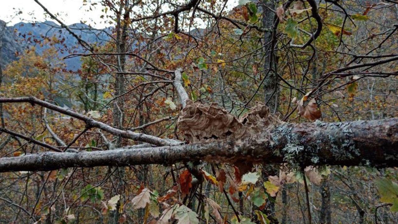 Restos del nido comido por el oso