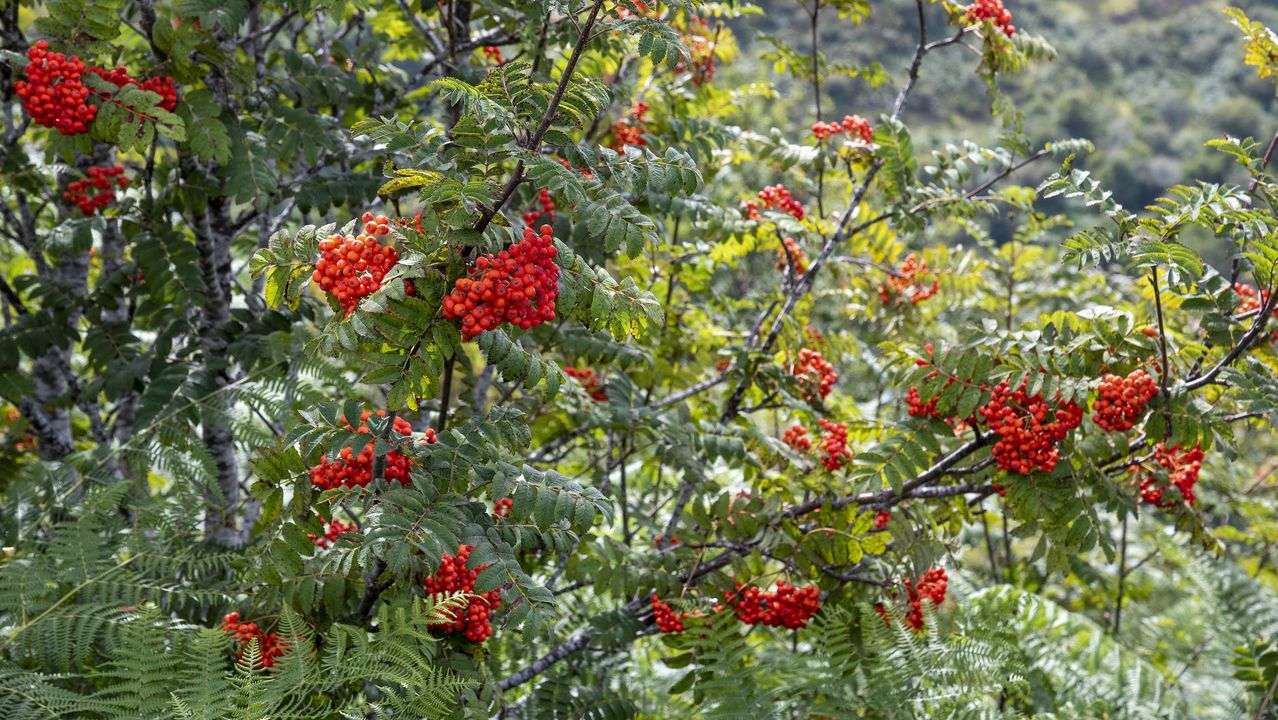 Un ejemplar de serbal de los cazadores entre el Alto da Pedra y la Devesa da Escrita, en O Courel. Las llamativas bayas rojas de este árbol forman parte de la dieta habitual del oso pardo