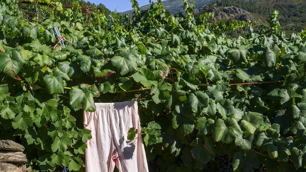 Un pijama colgado entre las vides protege las uvas de las alimañas en Sober