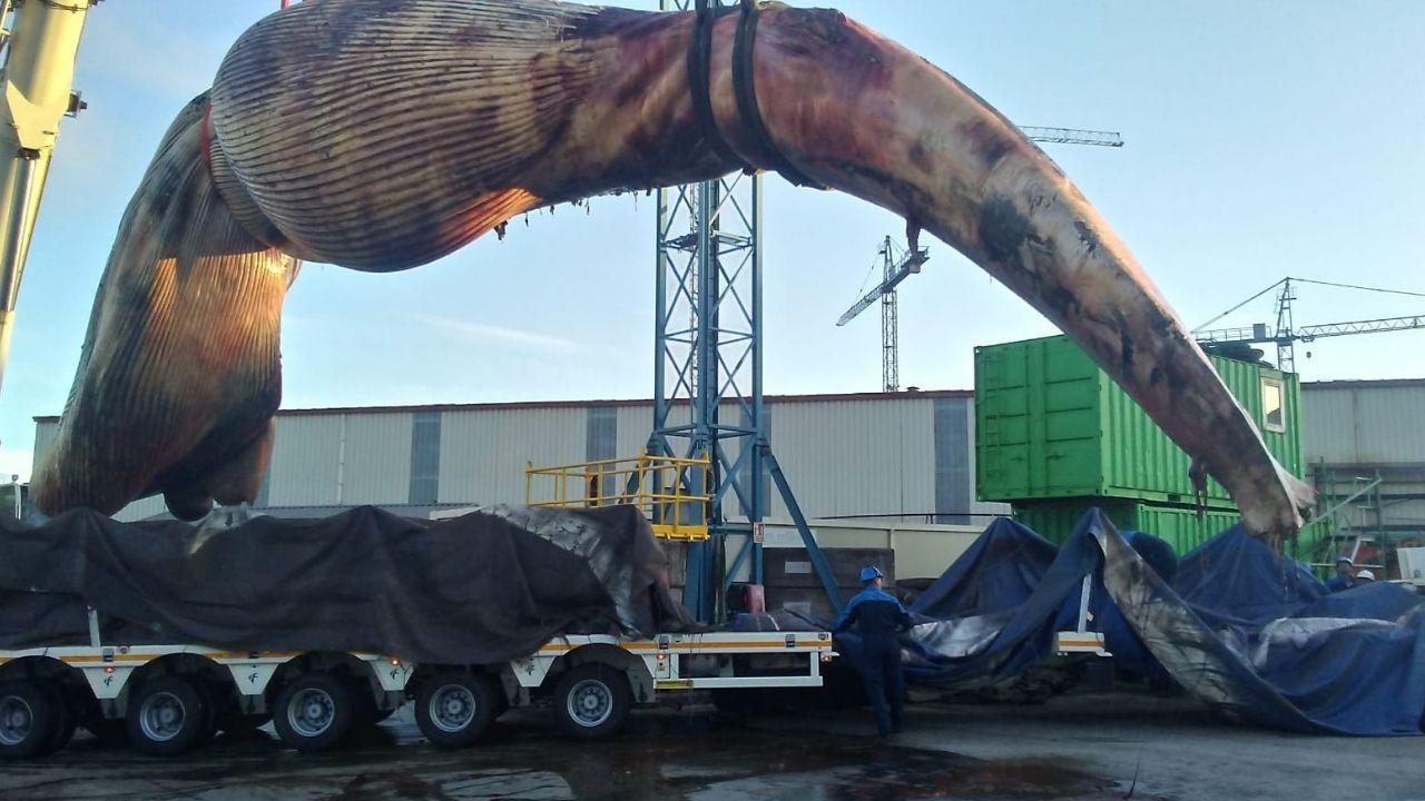 La impresionante ballena varada en Tapia pesaba 47 toneladas