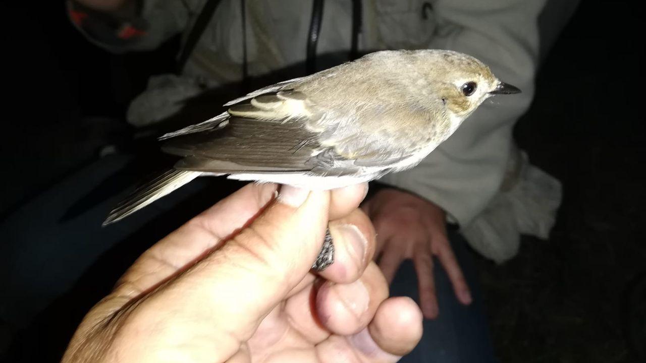 Papamoscas gris o trallón (Muscicapa striata)