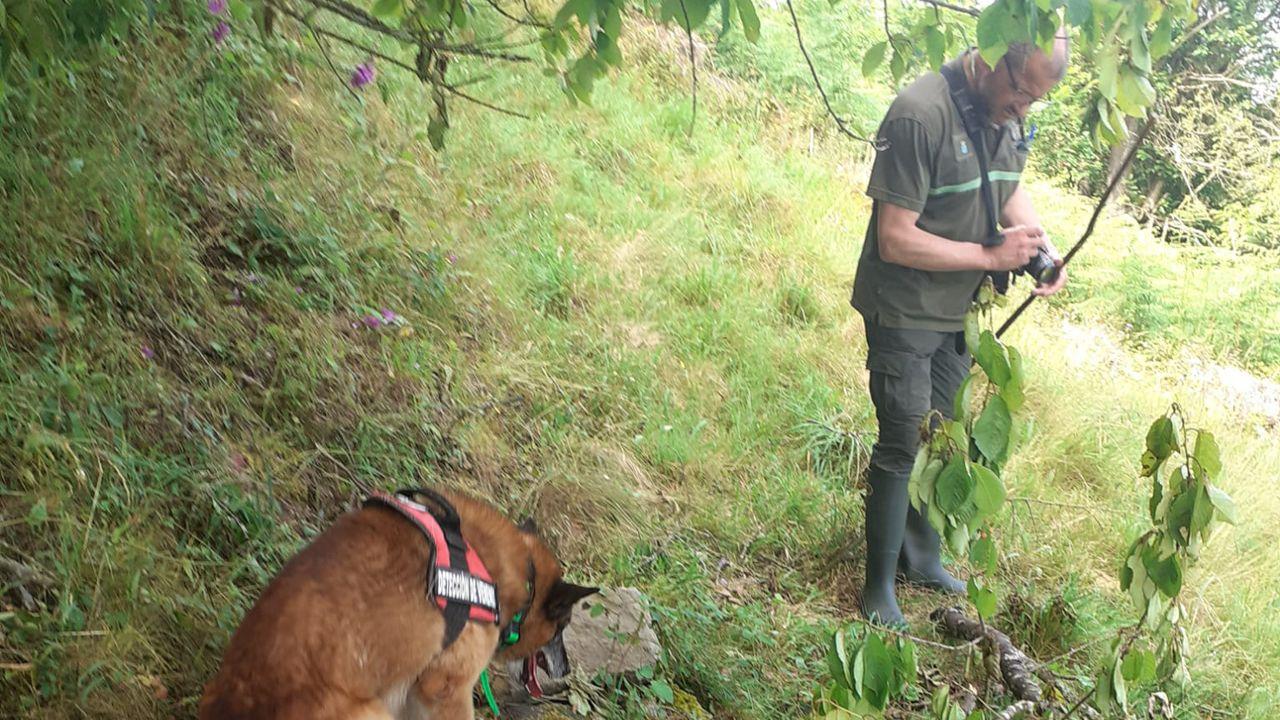 fosas asturias .Agentes del Medio Rural han recogido el cadáver de un oso joven en Cangas del Narcea