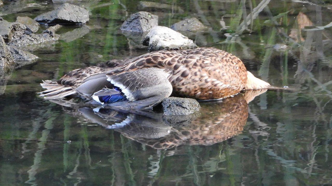 Pato azulón muerto en la ría de Avilés