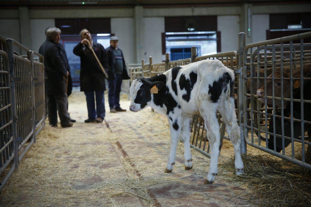 Ternero frisón en el mercado de ganado de Amio