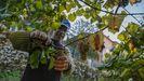 Las imágenes del inicio de la vendimia de Viños da Terra do Barbanza e Iria