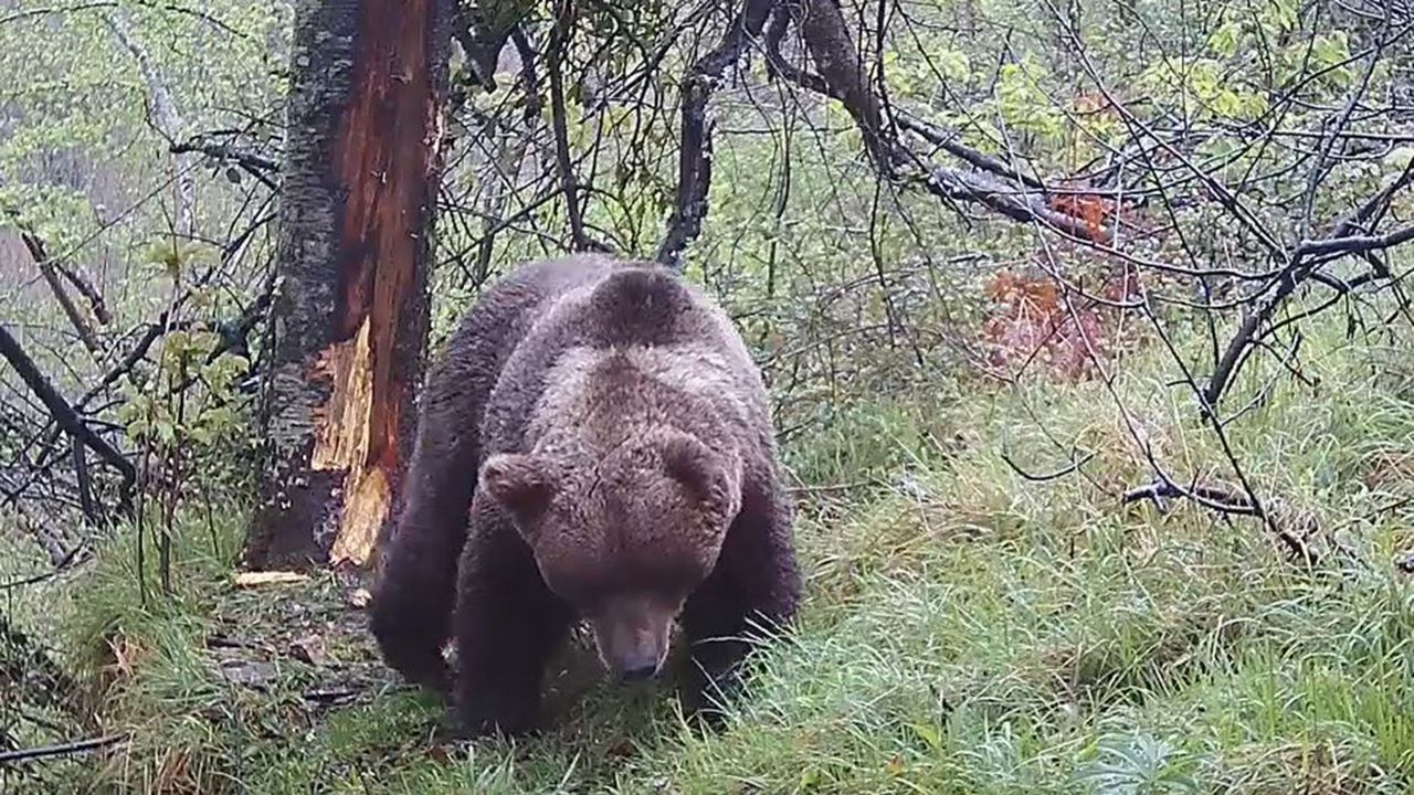 Un oso con una herida en una oreja tras una pelea con otro plantígrado