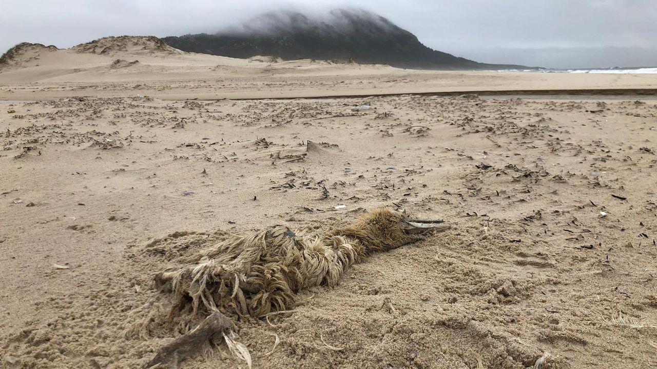 Arroaces por el tramo urbano del Lérez.De unos 6 metros de longitud y unos 2.000 kilos de peso, el rorcual apareció en la playa de O Torno