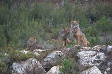Ejemplares de lobo ibérico en el Centro de Conservación del Lobo de la Fundación Patrimonio Natural de la Junta de Castilla y León