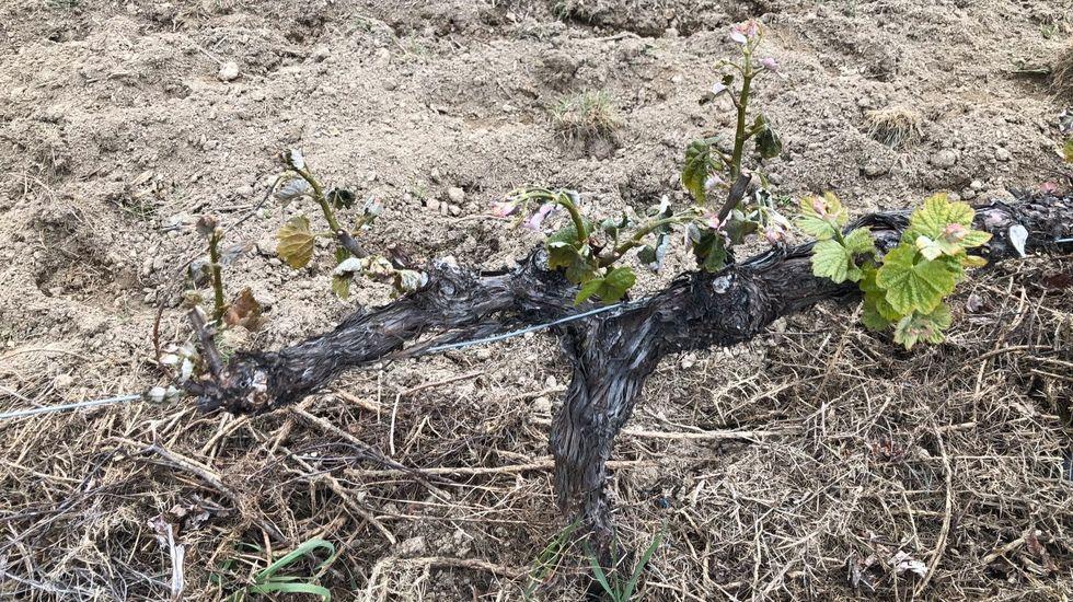 La imagen corresponde a un viñedo situado en una zona de ribera del municipio de Sober que se vio afectado por la helada que se registró en la madrugada del domingo al lunes