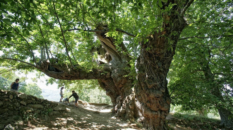 O castiñeiro de Pumbariños, unha árbore monumental